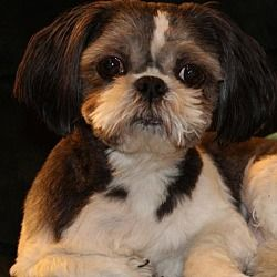 Pictures Of Sir Rascal A Shih Tzu For Adoption In Pataskala Oh