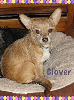 Fort Wayne In Cairn Terrier Meet Clover A Pet For Adoption