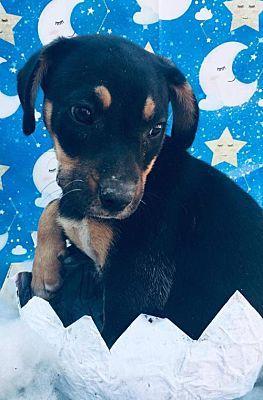 Seattle Wa Dachshund Meet Carlota From Mexico A Pet For Adoption Pets