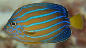 Blue Line Angelfish Google Search Angel Fish Fish Fish Pet