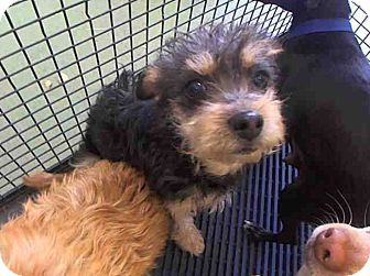 San Bernardino Ca Yorkie Yorkshire Terrier Meet Urgent