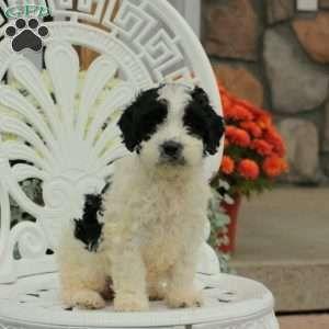 Springerdoodle Puppies For Sale Springerdoodle Greenfield Puppies Puppies For Sale