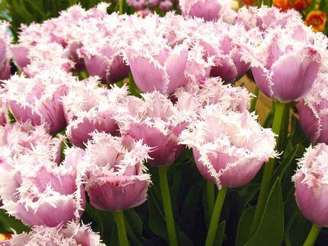Fiori Bianchi Aprile.April S Tulips Le Fioriture Di Aprile Il Glicine Il Tulipano E