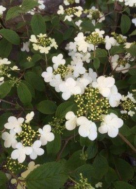 Arbusto Fiori Bianchi.Viburnum Plicatum Watanabe Arbusto Con Fiori Bianchi Che