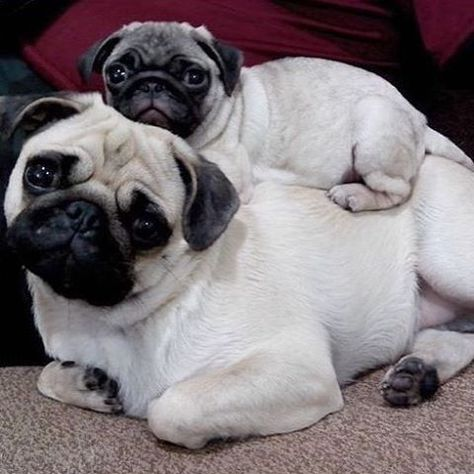 The Pug An Adaptable And Friendly Compact Breed Baby Pugs Cute