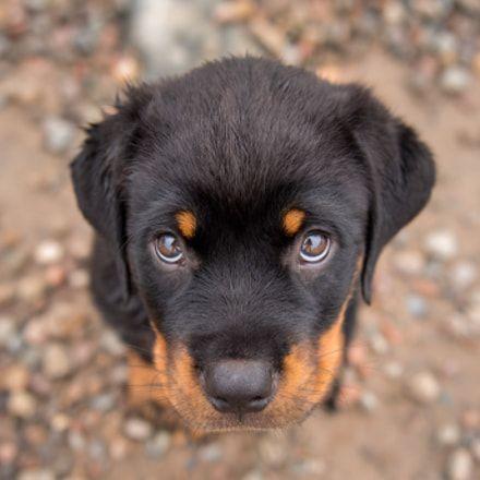 Pin By Garen On Poochie Pie 2 Dog Training Rottweiler Puppies