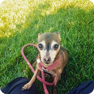 Kansas City Mo Miniature Pinscher Chihuahua Mix Meet Pebbles