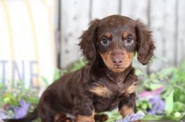 Devon Dachshund Mini Puppy For Sale In Mount Vernon Oh In 2020 Mini Puppies Puppies For Sale Dachshund