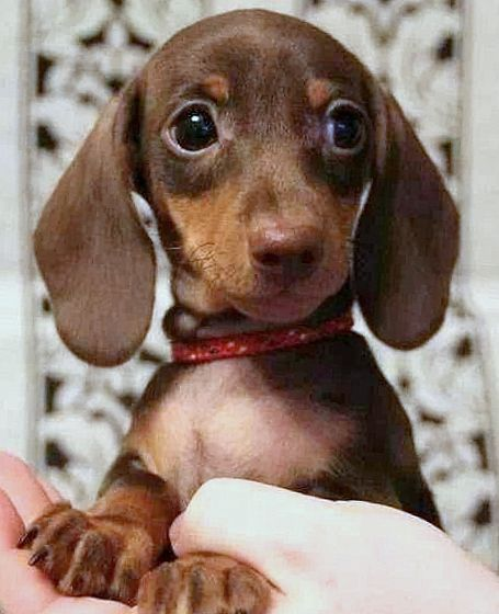 Cute Dachshunds Cute Dogs Cuteness Overload Cute Sausage Dog Cute