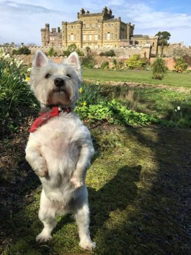 Meet Scotland S Most Well Travelled Dog Westie Dogs Dogs West Highland Terrier