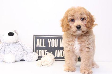 Cavapoo Puppy For Sale In Naples Fl Adn 34153 On Puppyfinder Com