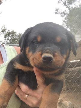 Rottweiler Puppy For Sale In Scottsdale Az Adn 70994 On