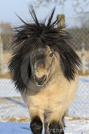 Mini Shetland Pony, 12 Years Old Stallion | Cute Critters ...