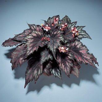 Begonia Helen Teupel Begonia Rex Hybrid Begonia Purple