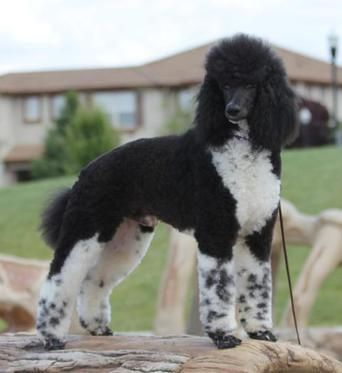 Tri Star Standard Poodles Northern California Poodle Dog