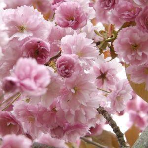 Cherry Blossom Trees On Sale Prunus Kanzan Shop Now Cherry Blossom Tree Pink Flowering Trees Blossom Trees