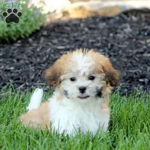 Teddy Bear Puppies For Sale Shichon Puppies Greenfield Puppies Teddy Bear Puppies Teddy Bear Dog Bichon Frise Puppy