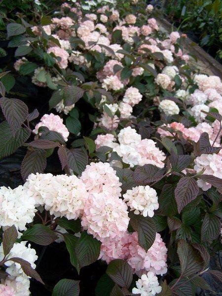 Kalina Japonska Kern S Pink Viburnum Plicatum 30cm Bryla Future Gardens Viburnum Beautiful Gardens Landscape Beautiful Gardens