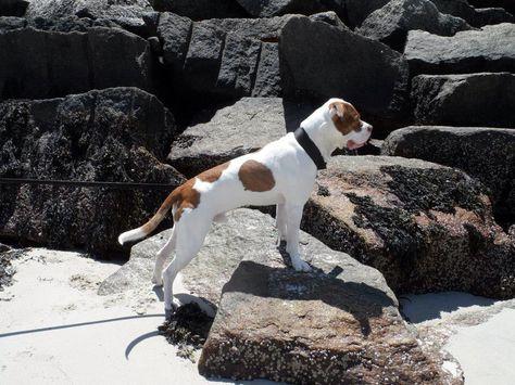 Wells Beach Maine American Bulldog American Bulldog Bulldog
