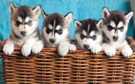 Four Husky Puppies Beautiful Dog Breeds Most Beautiful Dog