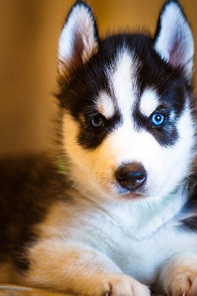 How To Crate Train A Husky Puppy Puppies Dog Training Husky Puppy