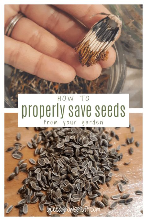 How To Properly Save Seeds From Your Garden Veg Garden, Garden Seeds, Lawn And Garden, Veggie Gardens, Vegetable Gardening, Organic Gardening, Growing Marigolds, Growing Sunflowers, Fall Vegetables