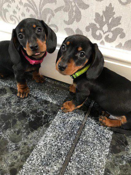 Miniture Dachshund Puppies For Sale In Kuwait Dachshund Puppies