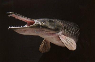 Top 10 Prehistoric Fish Alive Today Listverse Prehistoric