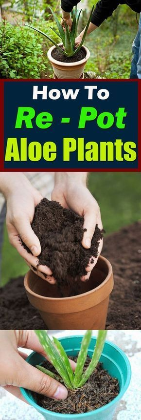 How to Re-Pot Aloe Plants