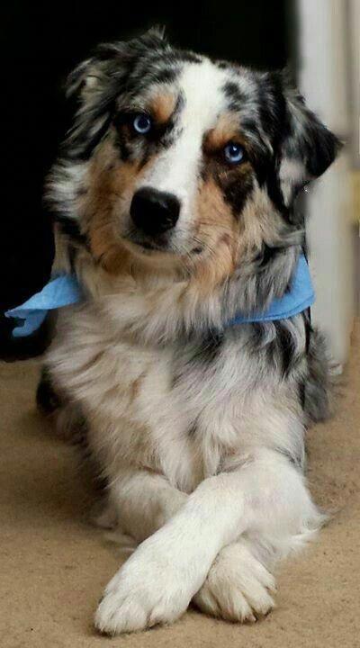 Australian Shepherd Smart Working Dog In 2020 Australian