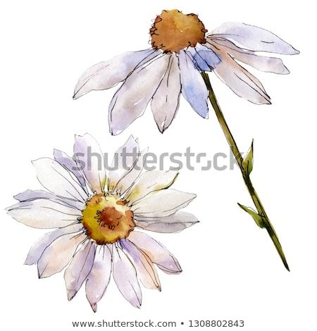 White Daisy Floral Botanical Flower Wild Spring Leaf Wildflower
