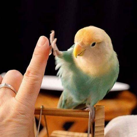 Parakeet High Five 💕