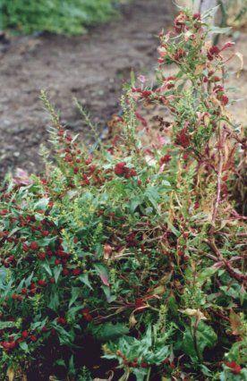 Echter Erdbeerspinat Chenopodium Foliosum Garten Erdbeeren Spinat
