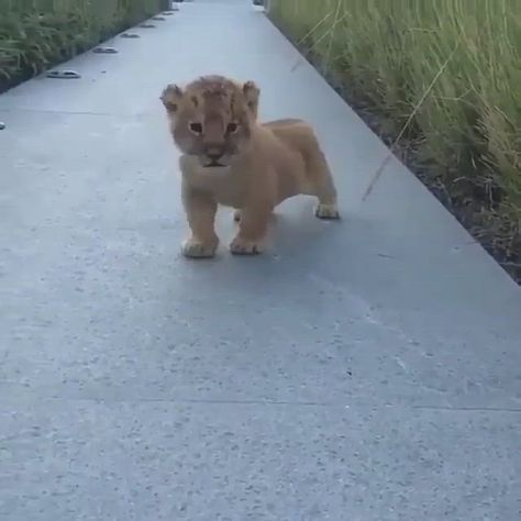 Rate from 1-10 for how cute this lion cub😍