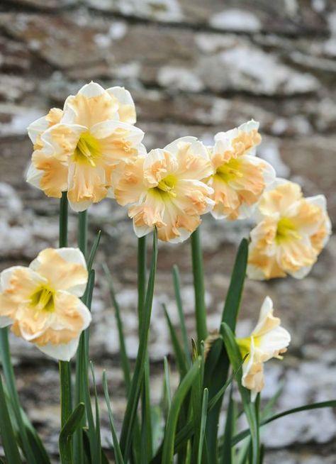 New Nice Adorable Flower Fragrant Seeds Blooms Narcissus Seeds BRCE 02