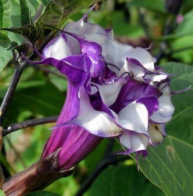 Rare Flower Seeds Purple Moonflower Mandala Datura Fragrant Exotic Plant 20pcs