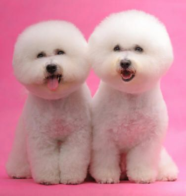 Bichon Frise puppies for sale from local Bichon Frise breeders. Information about Bichon Frises as adult dogs.