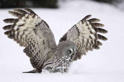 {great grey owl}