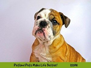 Dogs And Puppies For Sale Petland Naperville Illinois Puppy Adoption Puppies Puppies For Sale
