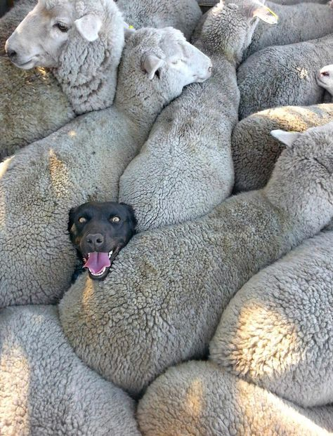 Charlie Mackinnon managed to take this amusing shot of his dog Izzy stuck in the middle of a flock of sheep