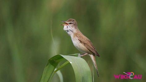 Panduan Lengkap Cara Merawat Burung Kerak Basi Burung Burung Sikatan Tempat Makan Burung