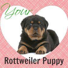 Rottweiler Puppy Growth Chart