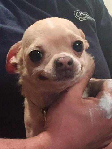Adopt Shrek On Chihuahua Dogs Animals Chihuahua