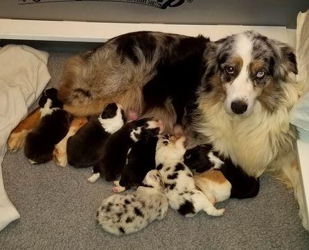 Litter Of 5 Australian Shepherd Puppies For Sale In Vincent Oh
