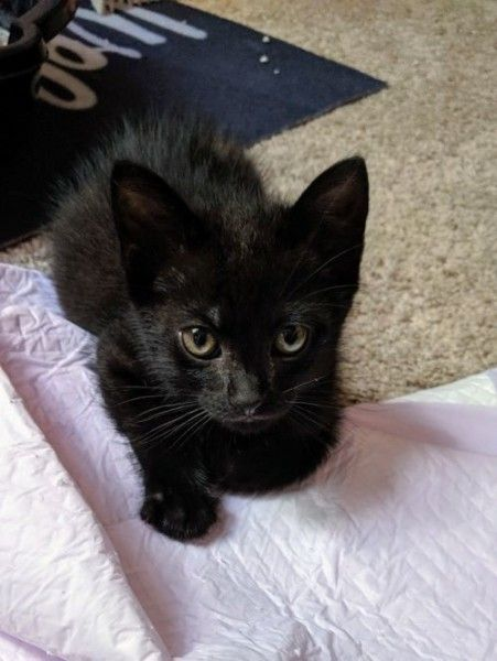 Domestic Short Hair Cat For Adoption In Sedalia Colorado Arya In Sedalia Colorado Cat Adoption Short Hair Cats Cats