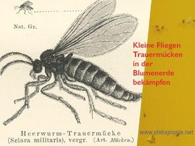 Kleine Fliegen In Der Blumenerde Bekampfen Trauermucken Fliegen In Blumenerde Kleine Fliegen Trauermucken