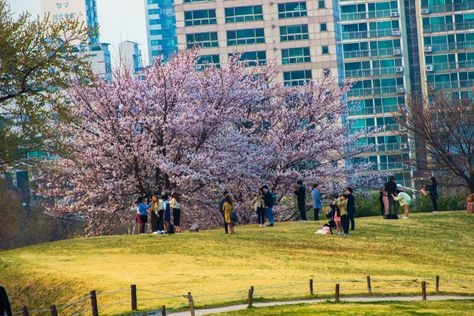 Cherry Blossoms Tree Olympic Park Seoul South Korea Blossom Trees Cherry Blossom Tree Park