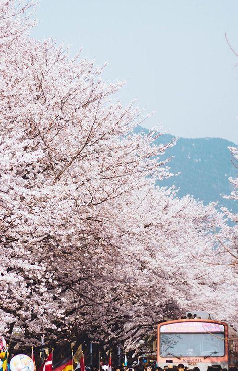 Cherry Blossoms Korea 2020 A Forecast Guide Where To Go South Korea Photography Korea Wallpaper Travel Destinations Asia Japan