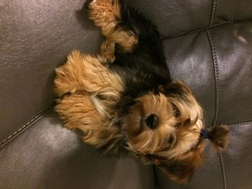 Yorkshire Terrier Puppy For Sale In Vancouver Wa Adn 50075 On Puppyfinder Com Gender Male Age 4 M Yorkshire Terrier Yorkshire Terrier Puppies Yorkie Puppy