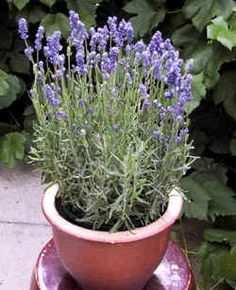 White-Washing terra cotta pots & tips for growing Lavender indoors ...